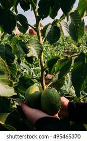 Walnut Seedling Images, Stock Photos & Vectors | Shutterstock