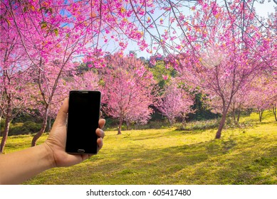 Hand holding Smart Phone for Daily Outdoor Life with Black Screen in landscape pink sakura garden.