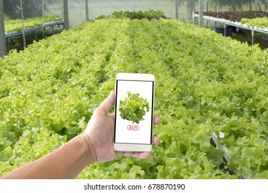 Hand holding smartphone to buy fresh vegetables from the farm. Internet shopping concept.