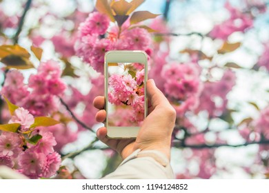 Hand holding smartphone taking photo of cherry blossom in spring time.