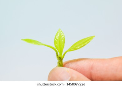 The hand holding the Soft shoots of trees extends to you, Soft shoots of trees in the hands on white background, Three light green leaves, Grow up of tree