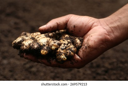 Hand holding some newly harvested ginger