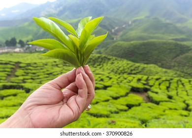 Hand holding tea leaf with tea plantation in the background.