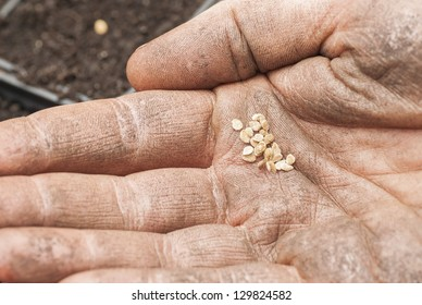 Hand holding tomato seeds ready to sow.