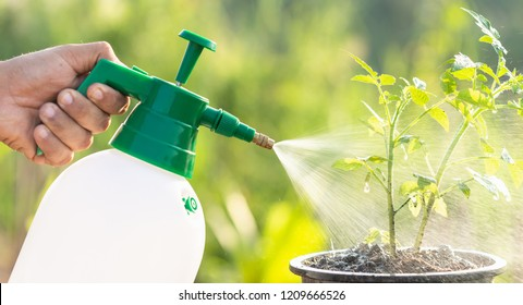 Hand holding watering can and spraying to young tomato plant in garden at morning time