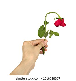 Hand holding withered roses isolated on white background with clipping path. Concept bad Valentine's day.