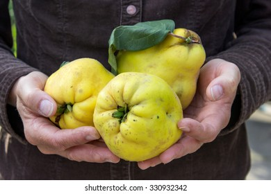 Hand holding yellow pear quince / pears quinces / fruits