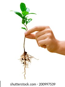 Hand holding a young green plant of coffee with root isolated on white background