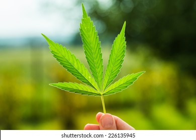 Hand holding Young leaf of marijuana.