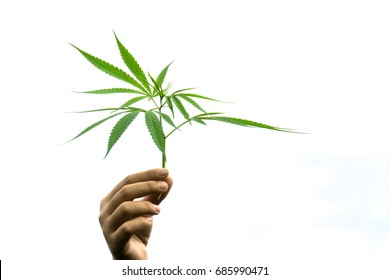 Hand holding Young leaf of marijuana on white sky.