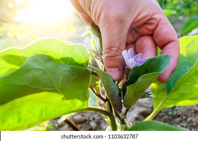 The hand holds the aubergine flower in the garden in the sunlight. Aubergine flower in the hand of the farmer. Family Solanaceae - eggplant.