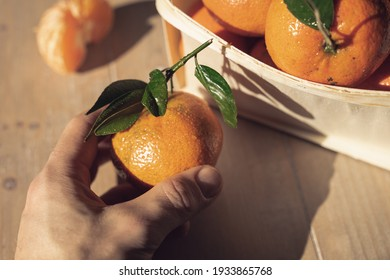 a hand holds a fresh orange tangerine. tangerine and clementine harvest. a basket full of tangerines on a wooden table. selection by a male hand.