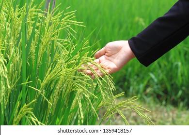 Hand and jasmine rice