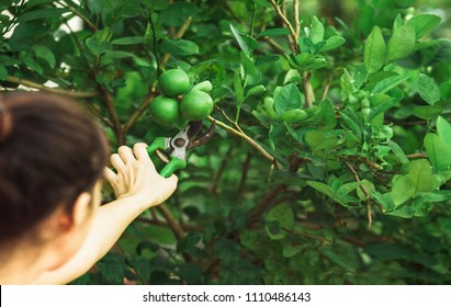 Hand keep limes from the tree. Lime is Species same type citrus fruit and Lemon, containing Citric Acid (AHA : Alpha Hydroxy Acids) juice. Limes are excellent source of vitamin C.
