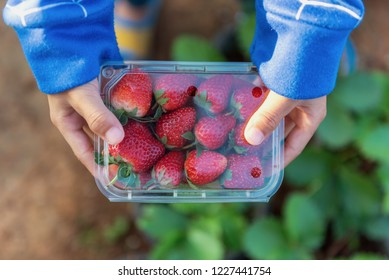 Hand of Little Boy Hmong Tribe holding the Strawberries Packaging Clear Boxes in the Strawberry Plant of Thailand.