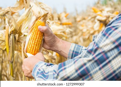 Hand or Male or Man Farmer holding or Harvesting Corn Cob on plant in Field or Meadow as Agro-industry or Agriculture Farming Concept.