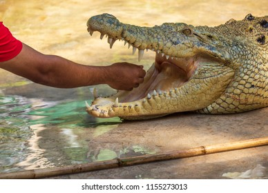 Hand of a Man Doing a Stunt with a Crocodile.