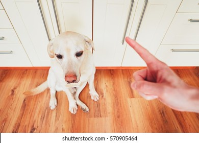 Hand of man and guilty dog (yellow labrador retriever) at home.