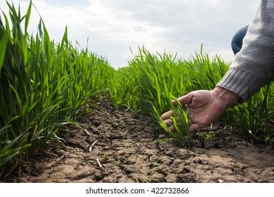 A hand of the man is touching several blades of green wheat in the field