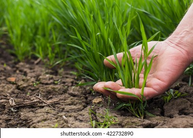 A hand of the man is touching several green blades of  wheat