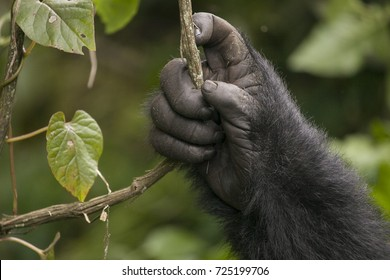 The hand of a Mountain gorilla in the jungles of Rwanda, Africa, holding a vine