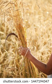 The hand of an old woman holding a sickle and cut ears of wheat in a wheat field. Harvesting, respecting traditions.
