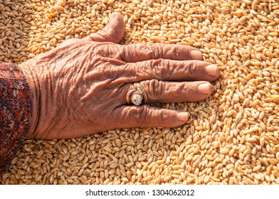 Hand on the wheat grain