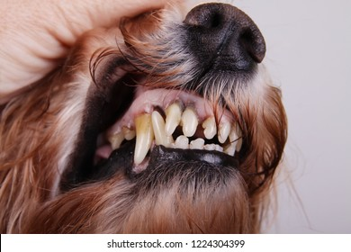A hand opening dogs mouth. Health check of teeth of dog. Caries and parodontosis. Animal and pet veterinary care concept .