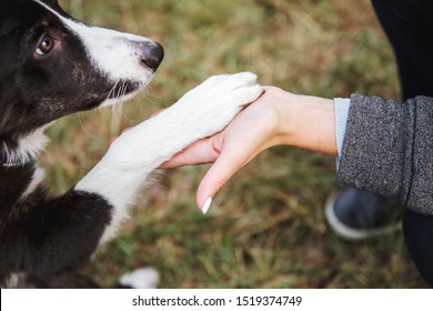 Hand of owner holding a paw of dog. The dog gives a paw. Border Collie puppy gives five