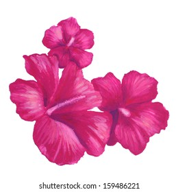 A hand painted oil pastel drawing of tropical pink hibiscus flowers that grow in Hawaii isolated on a white background.