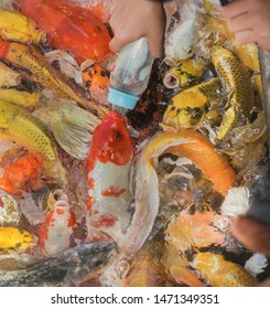 Hand of people feeding milk to fancy carp or koi fish in blue aquarium or pool - wildlife.Feeding fishes. Fancy carp fishes, mirror carp, Romaji, Koi, Nishikigoi in the pond.