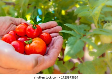 Hand picked homegrown tomatoes, organic farming.