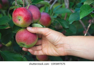 hand picking apple in orchard organic fruit tree