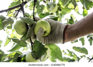 hand picking apples in the orchard