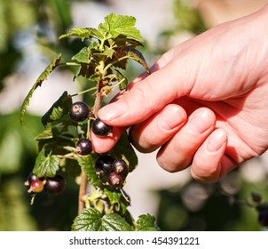 Hand Picking a black Currant