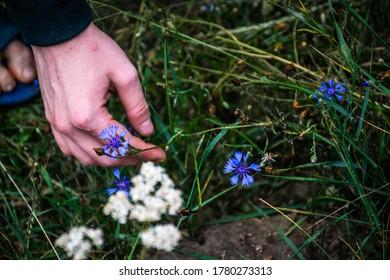 Hand picking a blue cornflower.