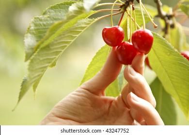 A hand picking a cherry.