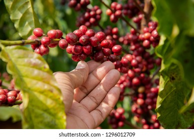 Hand picking coffee in the plant agriculture background