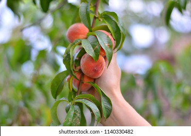 Hand picking fresh peaches from the peach tree in the garden.