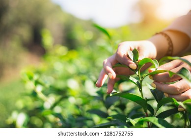 Hand picking a fresh tea leaf,Picking tea leaves by hand in organic green tea farm in the farm land,copy space.