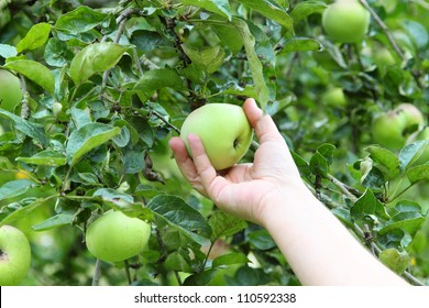 Hand picking a green apple from a tree