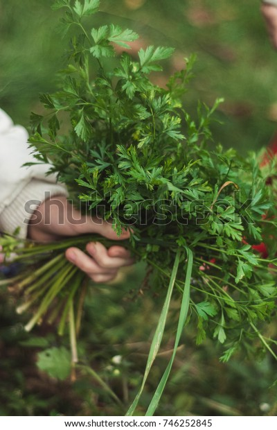 Hand picking up green leaf parsley from the garden.