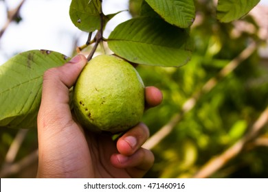 Hand picking a guava