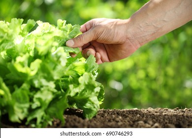 Hand picking lettuce, plant in vegetable garden, close up