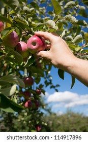 Hand picking a red apple on a tree