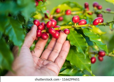 Hand picking red Arabica coffee beans on coffee tree