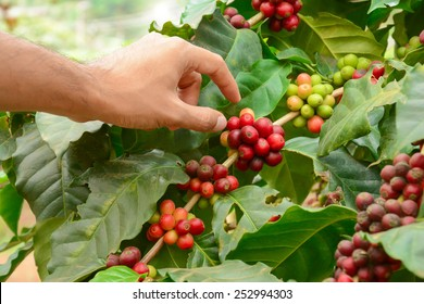 Hand picking red Arabica coffee bean fruit from the tree