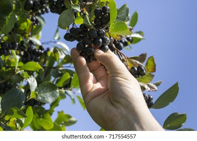Hand picking ripe aronia berry fruit from the branch, selective focus