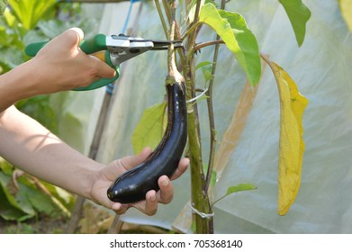Hand picking a ripe aubergine from a plant