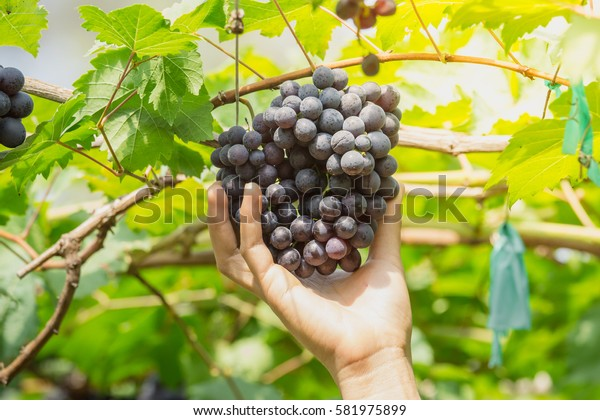hand picking ripe grapes (BLACKOPOR) on a vine in agricultural garden